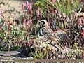 Horned Lark (Eremophila alpestris) (44520421355).jpg