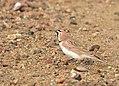 Horned lark on Seedskadee National Wildlife Refuge (39225466760).jpg