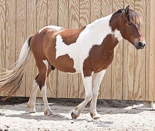 Pinto horse Horse with coat color that consists of large patches