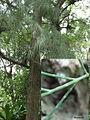 Horsetail taiwan rainforest.JPG