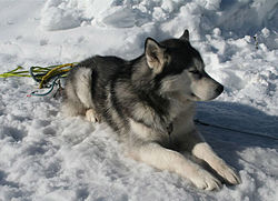Husky sitting in snow.jpg