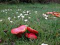 Hygrocybe coccinea and Hygrocybe virginea Rosemary Winnall.JPG