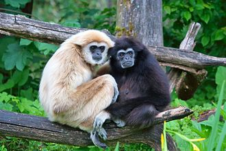 Gibbon - Lar gibbons (Hylobates lar)