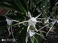 Hymenocallis flowers-02.jpg