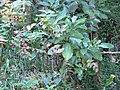 Hypericum androsaemum L. (AM AK327068-1).jpg