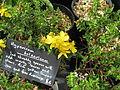Hypericum balearicum (14945734410).jpg