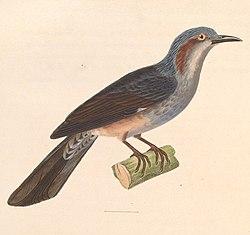 Hypsipetes amaurotis 1838.jpg
