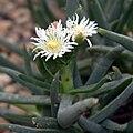 IMG 0416-Bergeranthus sp..jpg