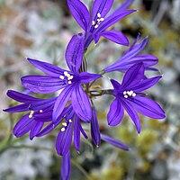 IMG 5975-Ixiolirion tataricum