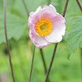 IMG 7421-Anemone tomentosa.jpg