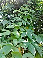 IMG Dioscorea spআহিনা আলু123.jpg