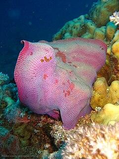 <i>Ianthella basta</i> species of sponge