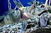 Icefish Chionodraco hamatus