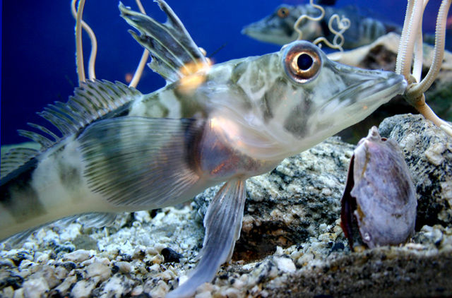 Antarctic Icefish has clear blood 640px-Icefish_Chionodraco_hamatus
