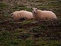 Iceland - Sheep - Road Trip - Chordata - Mammalia (4889905981).jpg