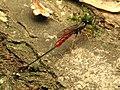 Ichneumon Wasp (34396553346).jpg