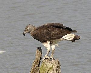 Grey-headed fish eagle - Image: Ichthyophaga ichthyaetus Kazaringa, Assam, India 8