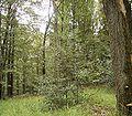Ilex aquifolium 11 ies.jpg