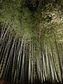 Illuminated Sagano bamboo forest 2.jpg