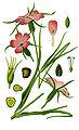 Illustration Agrostemma githago1.jpg