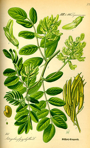 Description de l'image Illustration Astragalus glycyphyllos0.jpg.