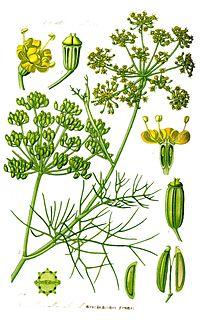 Illustration Foeniculum vulgare1.jpg