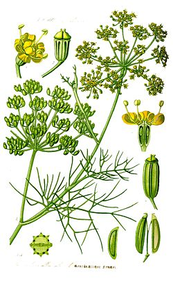 http://upload.wikimedia.org/wikipedia/commons/thumb/3/38/Illustration_Foeniculum_vulgare1.jpg/250px-Illustration_Foeniculum_vulgare1.jpg