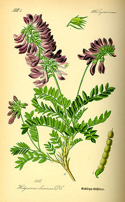 Alpen-Süßklee (Hedysarum hedysaroides), Illustration