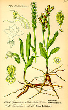 Illustration Platanthera viridis0.jpg
