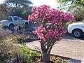 Impala lily 2.JPG