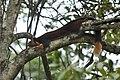Indian Giant Squirrel DSC 3420.jpg