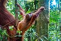 Indonesia - Bukit Lawang (25950062813).jpg