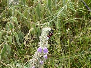 Anisomeles genus of plants