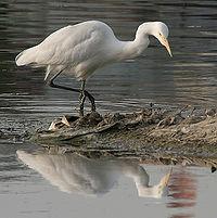 Intermediate Egret (Mesophoyx intermedia) W IMG 6634