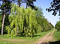Into Silk Wood from the south - geograph.org.uk - 488628.jpg
