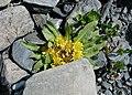 Inula rhizocephala (Asteraceae) (50053738547).jpg
