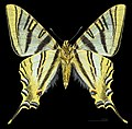 Iphiclides feisthamelii MHNT CUT 2013 3 9 Male Ventre Salvezines.jpg