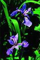 Iris versicolor quebec 1.jpg