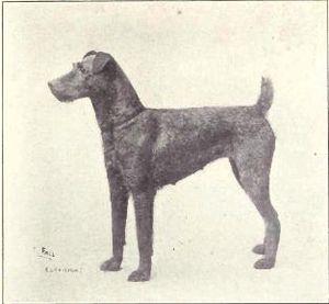 Irish Terrier - Irish Terrier circa 1915