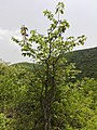 Ironwood (Manilkara hexandra) tree at Kambalakonda Wildlife Sanctuary.jpg