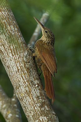 Ivory-billed Woodcreeper - Oaxaca - Mexico S4E8471 (16568142550).jpg