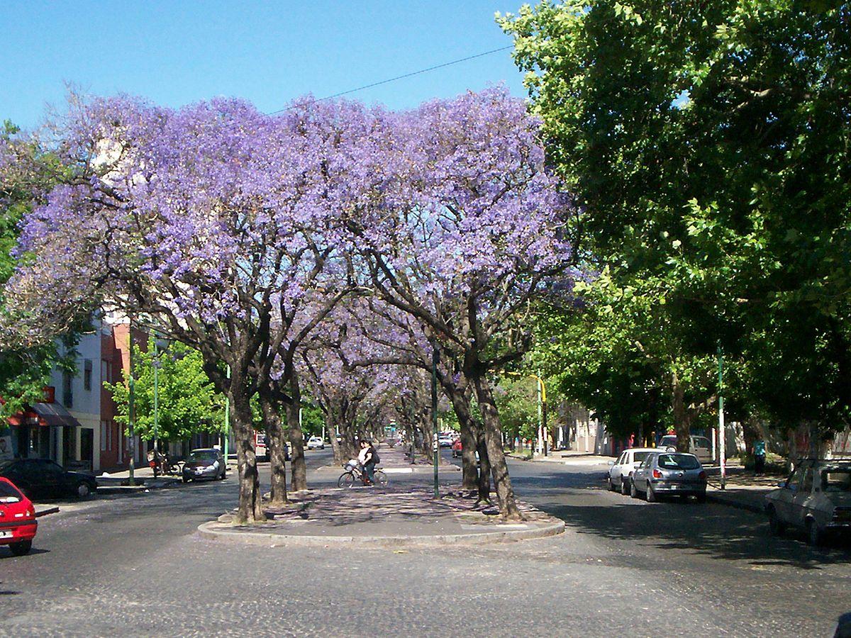 Jacaranda wikipedia la enciclopedia libre for Arboles perennes en argentina