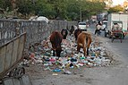 Jaipur cows eating trash.JPG