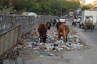Environmental impact of pharmaceuticals and personal care products - Jaipur cows eating trash, which may contain medicines and supplements that will pass through their system and enter the environment