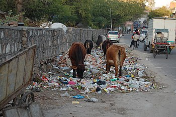 English: Cows eating trash, Jaipur, India.