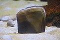 Japan sea animal, Rough Penshell (Atrina pectinata) (15587024877).jpg