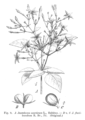 Jasminum spp EP-IV2-009.png