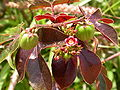 Jatropha gossypifolia MS4240.JPG