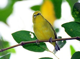 Javan White-eye at Mangrove. Surabaya, Indonesia.jpg