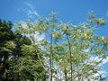 JfSesbaniagrandiflora188Palinglangfvf.JPG